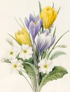 Floral Drawing - White Primroses And Early Hybrid Crocuses by Louise D'Orleans Watercolor Cards, Watercolor Flowers, Watercolor Paintings, Botanical Art, Botanical Illustration, Primroses, Floral Drawing, Color Pencil Art, Floral Illustrations
