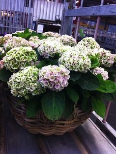 #Hydrangea in basket; available at www.barendsen.nl