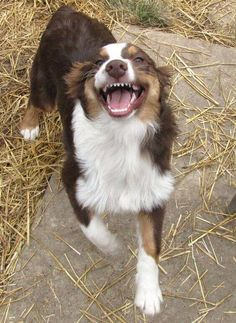 "Australian Shepherd - showing the ""Aussie Grin"" Aussie Puppies, Cute Puppies, Cute Dogs, Dogs And Puppies, Doggies, Australian Shepherd Husky, Aussie Shepherd, Mini Australian Shepherds, Animals And Pets"