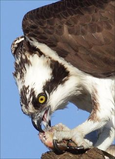 Osprey with Fish | Flickr - Photo Sharing!