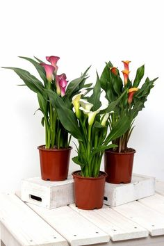 How to Grow Zantedeschia beautiful flowers Calla, Lily.Caring for Your Zantedeschia. Indoor Trees, Indoor Flowers, Outdoor Plants, Air Plants, Zantedeschia Aethiopica, Kalanchoe Blossfeldiana, Calla Lily Flowers, Growing Plants Indoors, Plant Guide