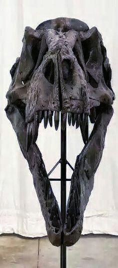T-rex skull Locality Hell Creek Formation, Harding County, South Dakota, USA