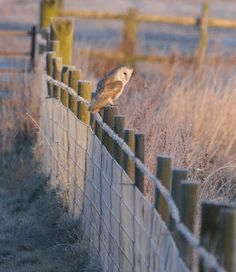 Another Bird Blog: Wednesday 7th February  a cold weather snap brings out the owls and the Kestrels. So on the drive over Stalmine Moss I wasn't too surprised to spot a hunting Barn Owl. The owl stayed out along the frosty fence before taking off into the distance.