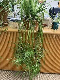 """3 Spider Plant Live - Easy to Grow Cleans the Air. Large 4-6"""" long - Well Rooted   eBay All Plants, Live Plants, Spider Baby, Chlorophytum, Mother Plant, Spider Plants, See Picture, Houseplants, Roots"""