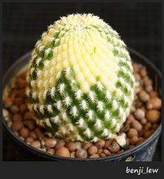 Rebutia Arenacea Variegata Very Nice Shade RARE Astrophytum Cactus Succulents | eBay