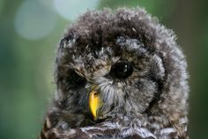 Precious Young Owl by hylobates; barred owl, BC