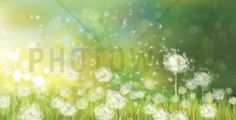 Dandelion Spring Morning - Tapetit / tapetti - Photowall