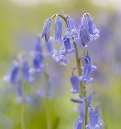 bluebell | Flickr - Photo Sharing!