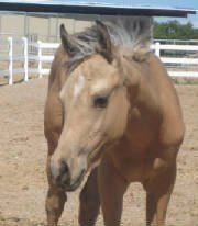 Half-Arab client filly by Dun Faded My Genes.