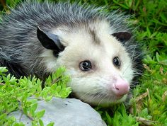 The eyes of the opossum appear black, but what we are seeing are strongly dilated pupil; there is iris around them, it's just mostly out of sight. The giant pupils are thought to be an adaptation to their nocturnal habits.  Read more: http://www.mnn.com/earth-matters/animals/stories/10-things-you-didnt-know-about-opossums#ixzz3MZla494z