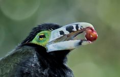 A toucanet eats a palm fruit in Brazils Atlantic forest. Toucanets, like toucans and other large birds, disperse big seeds over wide distances.