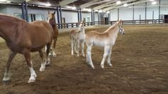 These two beautiful #Belgian mares are sisters. Their foals were born on the same day! One of the foals will be named through a Name the Foal contest. Put in your suggestion for a name while at #HorseFest at Lake Metroparks Farmpark.