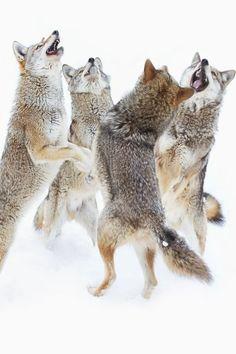 Dancing Wolves.