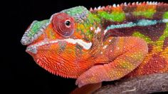 Chameleons' amazing colour-changing relies on tiny crystals under their skin, which change shape to reflect different wavelengths of light Colorful Animals, Nature Animals, Planet Earth Ii, The Lion Sleeps Tonight, Dragon Miniatures, Animal Adaptations, Reptiles And Amphibians, Creature Design, Habitats