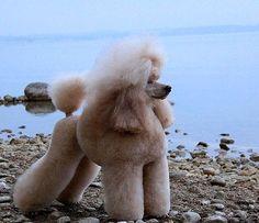 Kaya aus dem Schneckenhaus - Poodles in Scandinavia