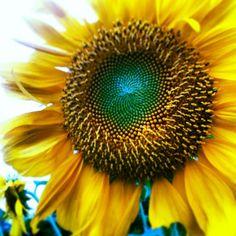 #ひまわり #向日葵 #夏 #japan #summer #sunflower #flower #花