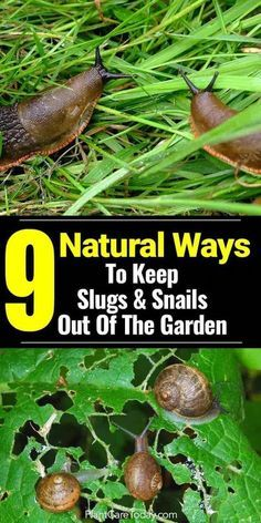How To Get Rid Of Slugs In Your Garden - 9 All NATURAL Ways How to get rid of slugs in the garden can be a challenge. When planting a garden, slugs and snails seem to show up. [MORE On Natural Slug Control]