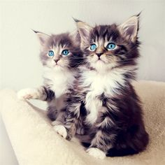 Cute Blue Eyes Kittens #iPad #Air #Wallpaper