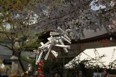 Aichi Prefecture :Okazaki castle park  A cherry tree and a sacred oracle   April 11,2011