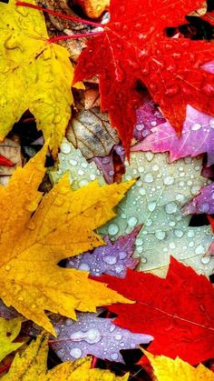 Leaves Autumn Water Drops Yellow Red Purple hd wallpaper by LadyGaga Widescreen Wallpaper, Live Wallpapers, Cool Wallpaper, Wallpaper Backgrounds, Wallpaper Qoutes, Autumn Nature, Autumn Leaves, Maple Leaves, Journal D'art