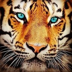 Blue eyed tiger photography animals eyes cats tiger..just to look; just to see..let your mind go at it's own pace...