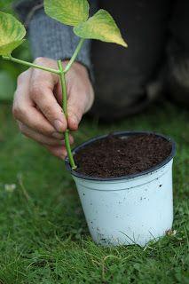 Garden Living: Slik tar du stiklinger av busker og trær