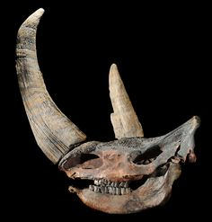Wooly rhino skull - Google Search                                                                                                                                                                                 More