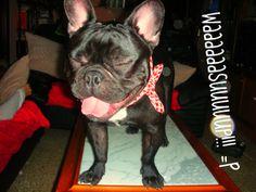 """""""Whaaaaaaasuuuuuup!"""", Nerón de fiesta, French Bulldog at the Party"""