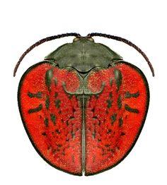 Discomorpha conspersipennis