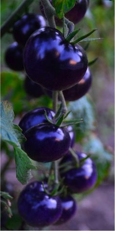 Growing tomato plants from seeds is not that difficult and it is extremely rewarding. Phenomenal Growing Tomatoes from Seeds Ideas.