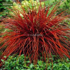 Uncinia Rubra - Firedance Ornamental Grass - I don't think this does well in U. northeast front porch landscaping Love the color! I'm now on a mission to add this in my garden next to the Karl Forester. Outdoor Plants, Outdoor Gardens, Patio Plants, House Plants, Landscape Design, Garden Design, Landscape Grasses, Fountain Grass, Grass Seed