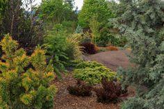 conifers, foliage gardening