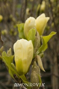 Monrovia's Elizabeth Magnolia details and information. Learn more about Monrovia plants and best practices for best possible plant performance.