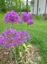 allium schubertii plant - Google Search