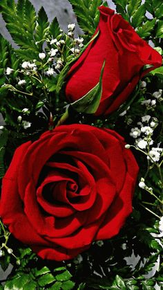 Red roses for you . Beautiful Rose Flowers, Flowers Gif, Beautiful Gif, Love Rose, Amazing Flowers, My Flower, Beautiful Flowers, Gif Rose, Beau Gif