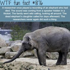 WTF Fun Facts is updated daily with interesting & funny random facts. We post about health, celebs/people, places, animals, history information and much more. New facts all day - every day! Elephant Day, Elephant Facts, Elephant Love, Baby Animals, Funny Animals, Cute Animals, Wild Animals, Baby Hippo, Wtf Fun Facts