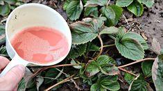 Jahody mi rastú samé od seba – ako v lese: Poradím, ako budú aj vám! Small Farm, Strawberry, Tableware, Garden, Vegetable Garden, Flowers, Sodas, Botany, Dinnerware