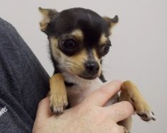 BREED: Applehead Chihuahua ESTIMATED BIRTH DATE: 4/2013 GENDER: Female WEIGHT: 3 lbs.