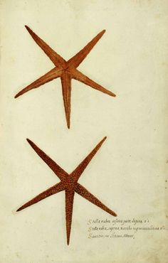 Free Printable - Animal - Curiosity - Star Fish - Italian (1)