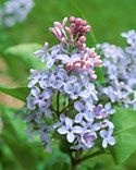 Lilacs - Recipes, Crafts, Home Décor and More | Martha Stewart