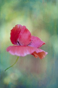 Textured Poppy~ by conniee4 aka Connie Etter, via Flickr