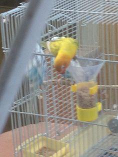 La visita de un perico muy colorido a la jaula de mis periquitos, comió de las semillas del dispensador de alimentos!! Imagen 4