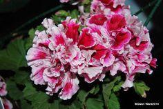 PERFECT PELARGONIUMS: Wordless Wednesday - 21/01/15 - Regal Pelargonium ...