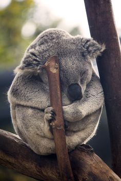 Casual mid-afternoon nap  for this Koala