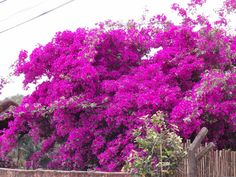 Uma primavera violácea em Extrema-MG, minto na Chácara do Maguinho, acho eu