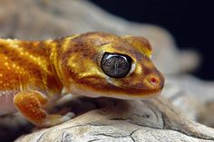 Nephrurus levis pilbarensis -  #lizards #geckos