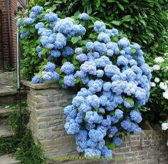 Blue Hydrangea - beautiful!