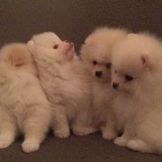 Pomeranian puppies for sale. Get pics and price o #pomeranian puppies for sale. Get pics and price on