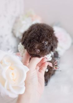 Toy and Tiny Teacup Poodle puppies available in our boutique store. Your Micro Teacup Poodle puppy is conveniently small and cute. Find your tiny Poodle today! Dog Training School, Dog Training Books, Dog Training Methods, Basic Dog Training, Dog Training Techniques, Training Your Puppy, Training Dogs, Toy Poodle Puppies, Puppy Obedience Training