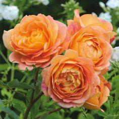 Lady of Shalott - David Austin Roses gut blühend